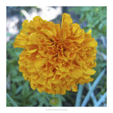 Marigold II Giclee Print by Megan Meagher