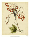 Cates. Yel.-throat. Creeper, Pl.T62 Giclee Print by Mark Catesby