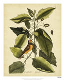 Catesby The Hood. Titmouse, Pl. T60 Prints by Mark Catesby