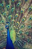 Royally Blue I Prints by Gail Peck