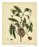 Catesby Flying Squirrel, P. T76 Posters by Mark Catesby