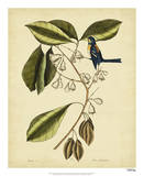 Catesby The Finch Creeper, Pl. T64 Posters by Mark Catesby