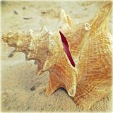 Conch Prints by Lisa Hill Saghini