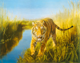 Tiger In The Indian Sunderbans Giclee Print by Leonard Pearman
