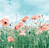 Poppy Pasture Giclee Print by Joseph Eta