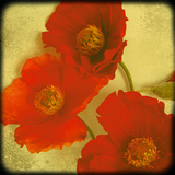 Fresh Poppies II Giclee Print by Rossana Novella