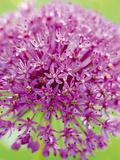 Flowerburst I Giclee Print by Ella Lancaster