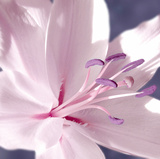 Lilac Flower II Giclee Print by Lucy Meadows