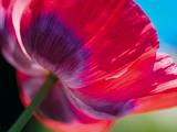 Radiant Poppy I Giclee Print by Ella Lancaster