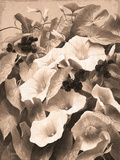Convolvulus and Blackberries (Sepia) Giclee Print by Mary Dipnall