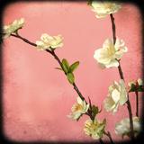 Pink Blossom I Giclee Print by Rossana Novella