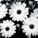 Daisy Light II Giclee Print by Joseph Eta