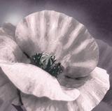 Poppy Dusk I Giclee Print by Lucy Meadows