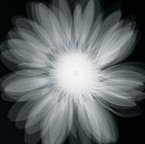 Gerbera Glow Giclee Print by Hugh Turvey