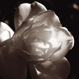 White Rose I Giclee Print by Malcolm Sanders