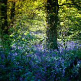 Bluebell Wood II Giclee Print by Pete Kelly