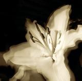 Lily Glow I Reproduction procédé giclée par Malcolm Sanders