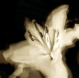 Lily Glow I Giclee Print by Malcolm Sanders