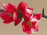 Japonica Blush Giclee Print by Sarah Caswell