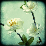 Apple Blossom II Giclee Print by Rossana Novella
