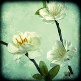Apple Blossom II Giclee Print by Rossana Novella