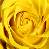 Yellow Rose Giclee Print by Joseph Eta
