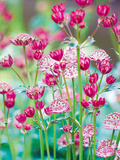 Astrantia Meadow Giclee Print by Ella Lancaster