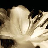 Lily Glow III Reproduction procédé giclée par Malcolm Sanders