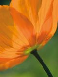 Sunshine Tulip Giclee Print by Ella Lancaster