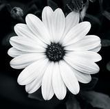 Daisy Light I Giclee Print by Joseph Eta