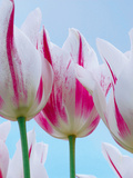 Tulip Dream I Giclee Print by Ella Lancaster