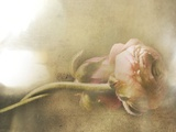 Ranunculus Intertwined Photographic Print by Mia Friedrich