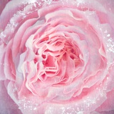Delicious Rose Photographic Print by Alaya Gadeh
