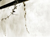 A Vine on a Blank Wall Photographic Print by Katrin Adam