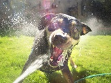 Dog Attacking Water Hose in Backyard Fun, Vicious an Wide Eyed, Albuquerque New Mexico Photographic Print by Kevin Lange