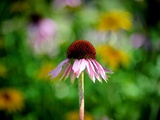 Echinacea Photographic Print by Sharon Wish