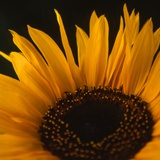 Sunflower Glow Photographic Print by Paul Cooklin