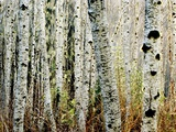 Glowoing Alders Photographic Print by Jody Miller