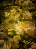 Dappled Daisies Photographic Print by Emma Kahane