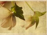 Study of a Christmas Rose Photographic Print by Mia Friedrich