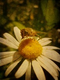 Bee Humble Photographic Print by Emma Kahane
