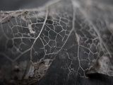 The Broken Veins of a Leaf Photographic Print by Jason Martin