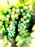 White Wine Grapes Photographic Print by Jody Miller