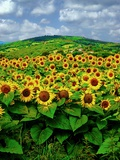 Summer Sunflowers - Italy Photographic Print by Steven Boone