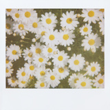 Daisies Photographic Print by Jena Ardell