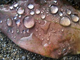 Leaf with Droplets Photographic Print by Jody Miller
