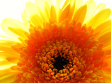 Yellow Gerbera Daisy Sunlit Photographic Print by Sabine Jacobs