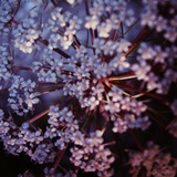 White Garden Angelica Photographic Print by Sabine Jacobs
