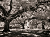 Old Oak Trees Photographic Print by Rip Smith