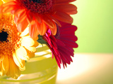 Three Gerbera Daisies Photographic Print by Sabine Jacobs